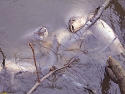 Aseguran que los peces muertos en los ríos de Delta son consecuencia de la ola polar