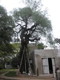 El aguaribay plantado por Sarmiento en la quinta Pueyrredon