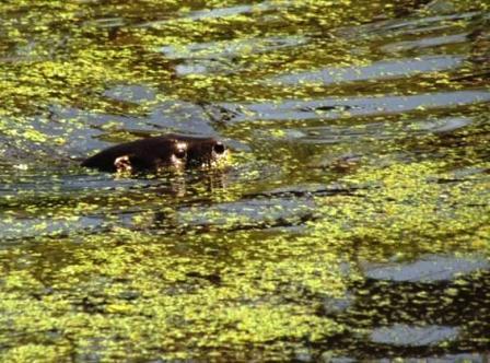 Un lobito de río visitó San Isidro