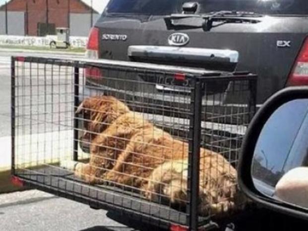 Impondrán sanciones a quienes trasladen animales con jaulas en el exterior del vehículo