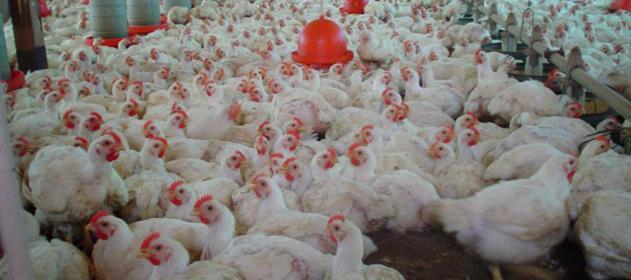 Una avícola quiere pagarle con pollos los salarios adeudados a sus trabajadores