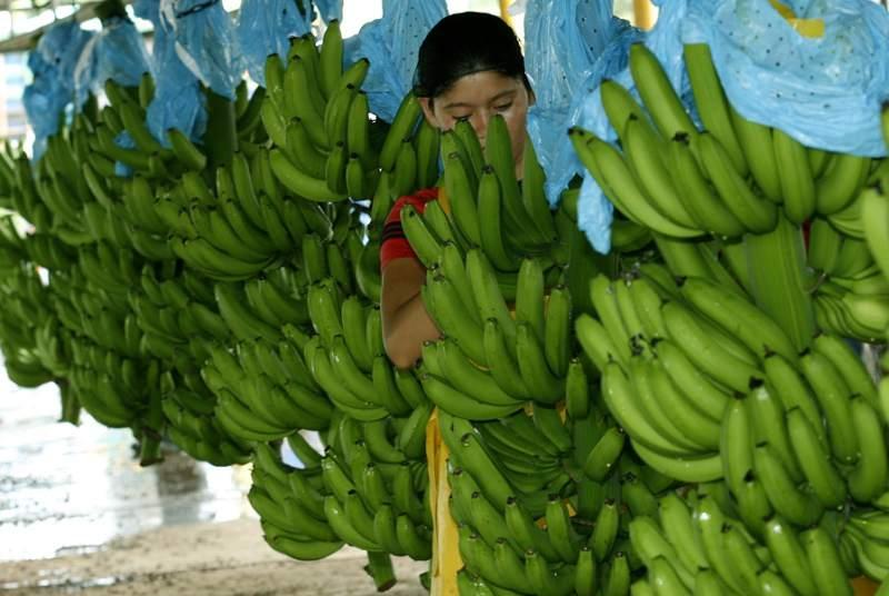 """Las bananas pueden estar en peligro de extinción en el mundo si avanza un hongo sobre los cultivos, que se conoce como el """"Mal de Panamá"""" y para el que todavía no se ha encontrado un tratamiento para neutralizarlo."""