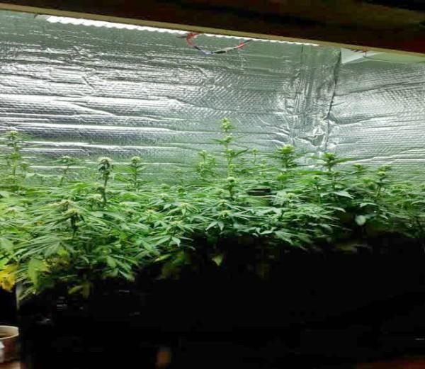 Desmantelan un vivero repleto de plantas y semillas de marihuana en Campana