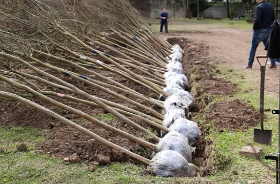 San Isidro suma 100 árboles que serán plantados en las veredas