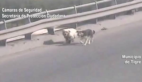 Las cámaras de seguridad del Centro de Operaciones Tigre (COT) divisaron a los caninos en una situación peligrosa. Efectivos los pusieron a salvo y trasladaron al área zoonosis del municipio.