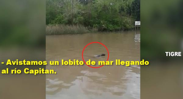 -Así socorrió el COT a un lobo marino perdido en Tigre