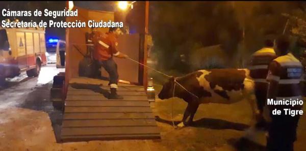 Socorren una vaca que corría peligro en una calle de Benavídez