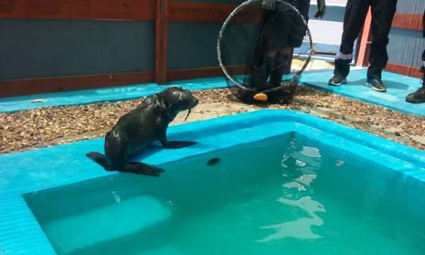 Rescatan a un lobo marino en la costa de Vicente López