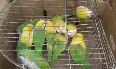 San Fernando rescató ejemplares de cotorras silvestres destinadas a la venta clandestina