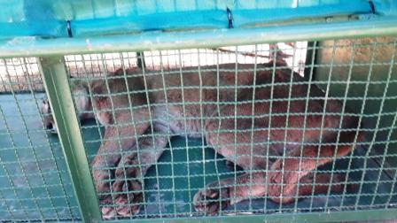 Atraparon al puma que apareció en Ostende
