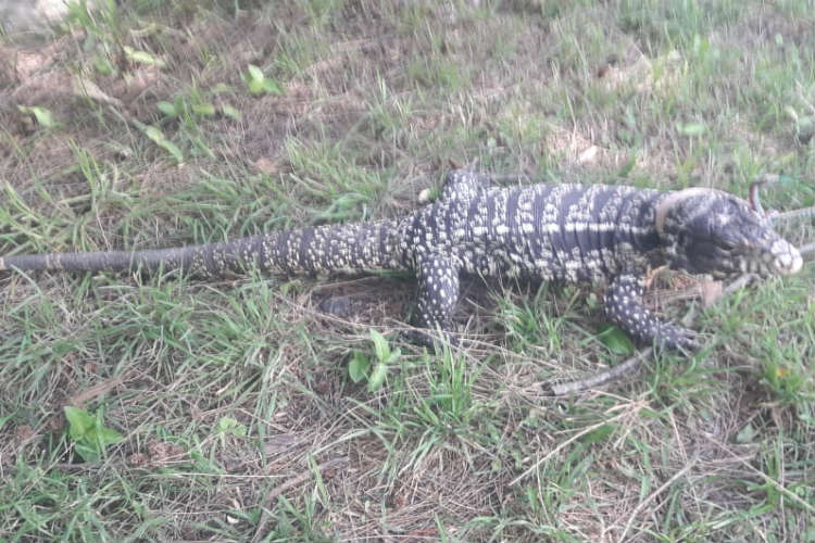 Defensa Civil de San Fernando capturó un lagarto overo y lo devolvió a su hábitat natural