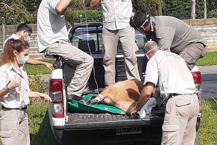 Se liberó un ciervo de los pantanos rescatado en el Delta de San Fernando