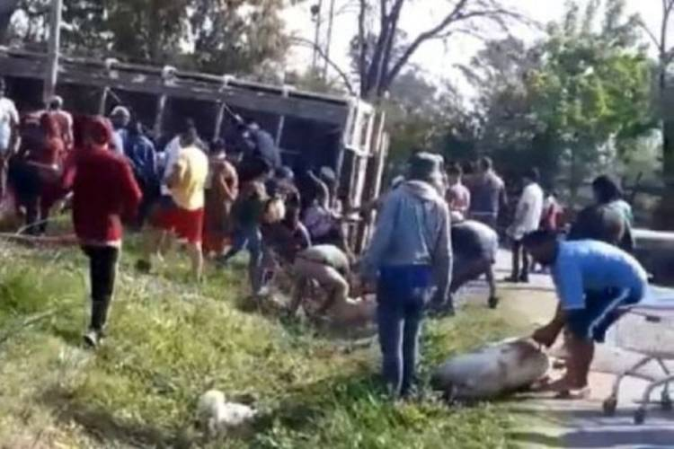 Volcó un camión con cerdos en Pilar y los vecinos se los llevaron