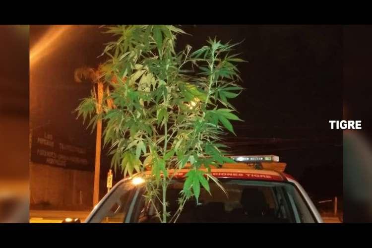 Detuvieron en Pacheco a un hombre con una planta de marihuana.