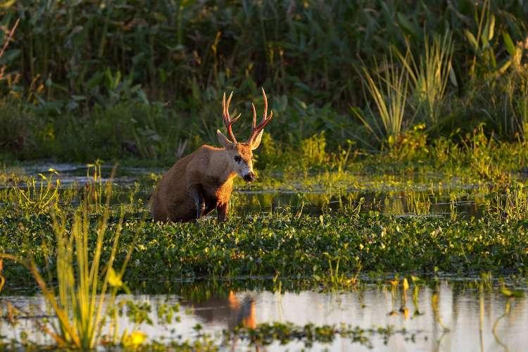 Un ejemplar de Ciervo de los Pantanos fue rescatado en el Delta del Paraná.