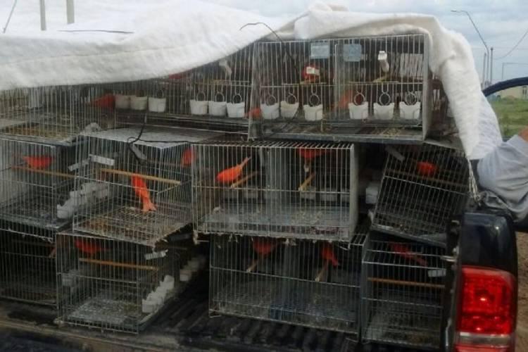 Rescatan más de 400 aves tráfico ilegal en dos operativos en Pilar y Liniers