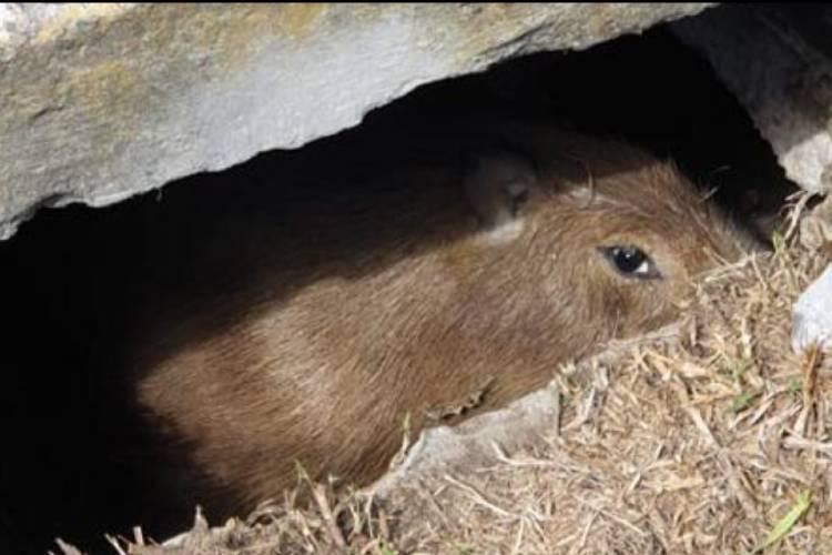 Rescate animal en Tigre: Salvan a un carpincho atrapado en una alcantarilla